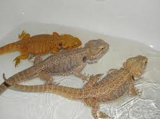 how to help a bearded dragon poop