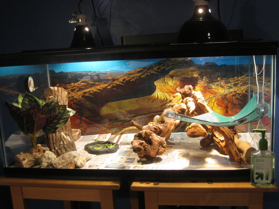 How To Take Care Of A Bearded Dragon Bearded Dragon Care Sheet